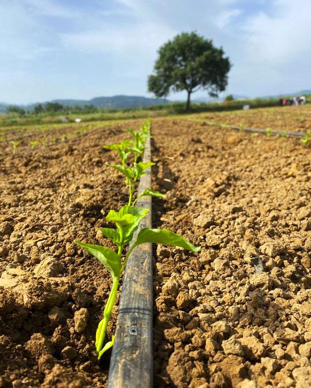 coltivazione-masseria-agricola-buongiorno-azienda-produzione-trasformazione-peperoni-cruschi-igp-sottoli-confettura-senise-basilicata